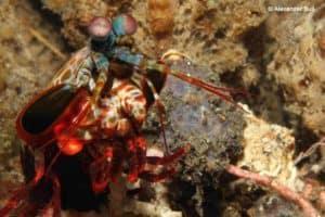 Odontodactylidae