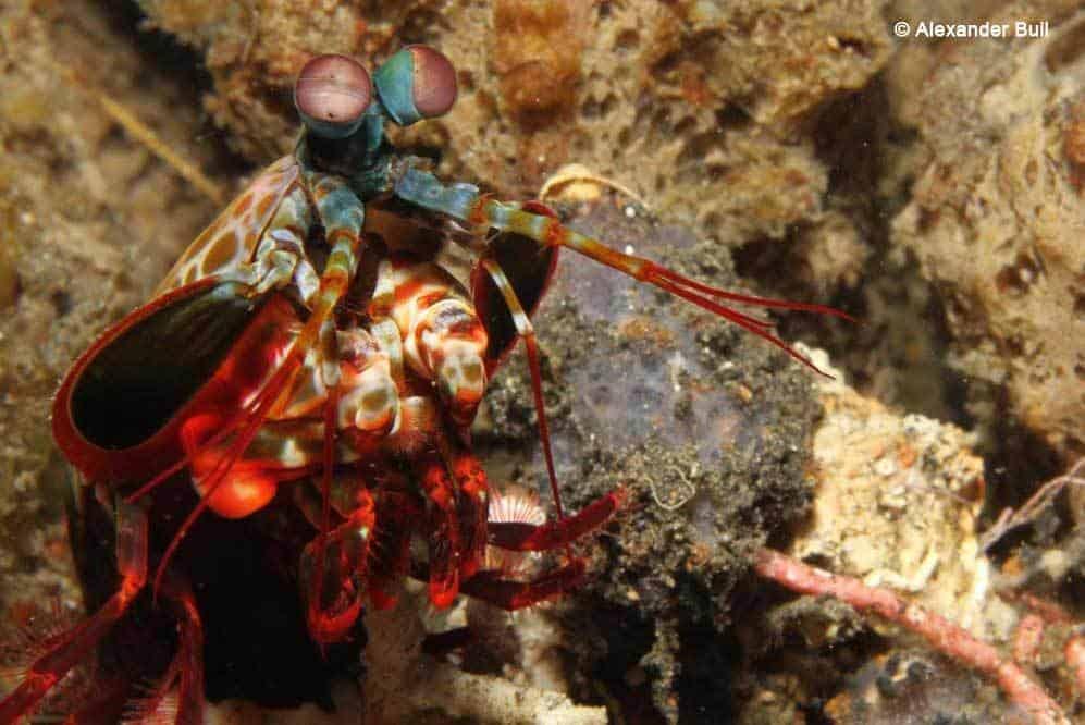 Odontodactylus scyllarus - Mantis