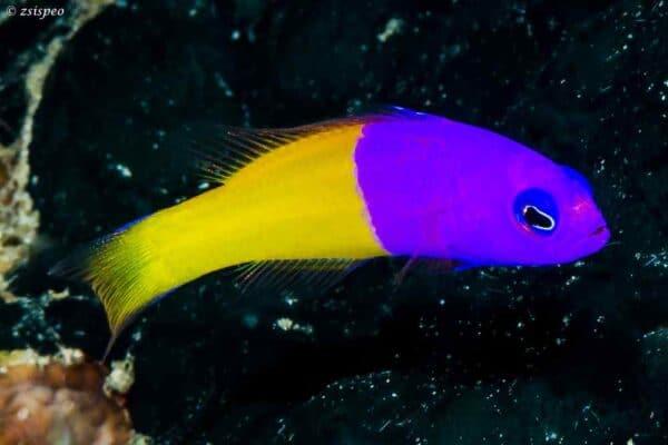 Pictichromis paccagnellae – Dwergzeebaars
