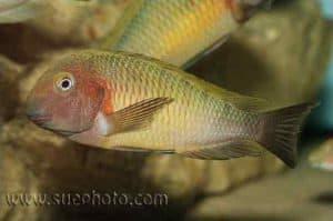 Tropheus sp Chilambo