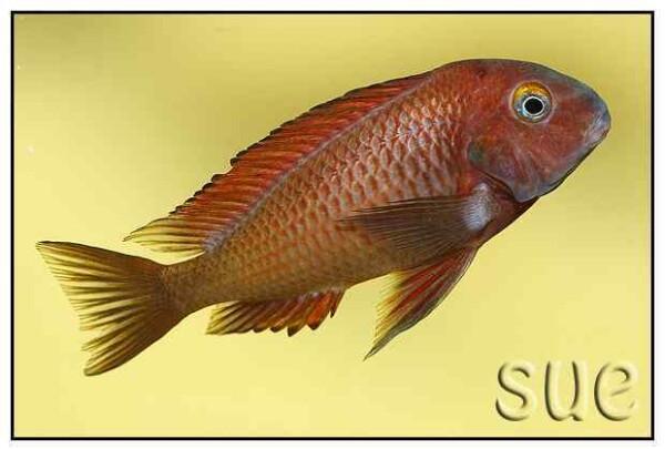 Tropheus sp Chilanga Red