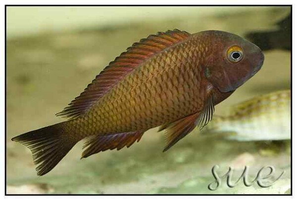 Tropheus sp Chilanga Red