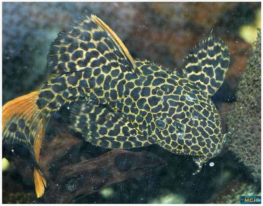 Jonge Pseudacanthicus leopardus