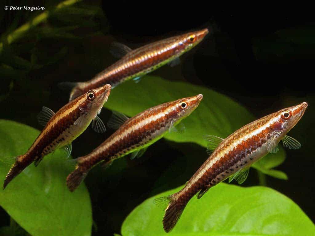 Nannostomus eques
