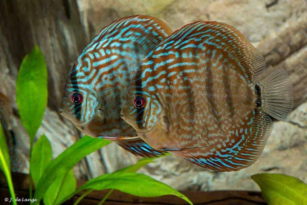 Symphysodon discus