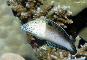 Coris aygula - Oranjevlek lipvis