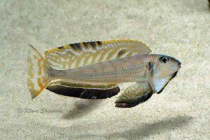 Enantiopus melanogenys - Toont vinnen