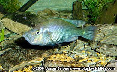 Haplochromis orthostoma