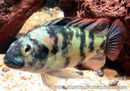 Paralabidochromis chromogynos - Man