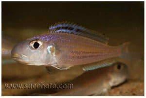 Xenotilapia bathyphilus - Chimba - Man