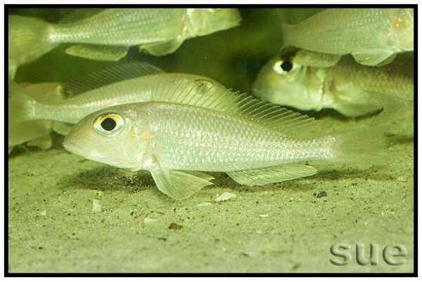 Xenotilapia boulengeri - Ilangi