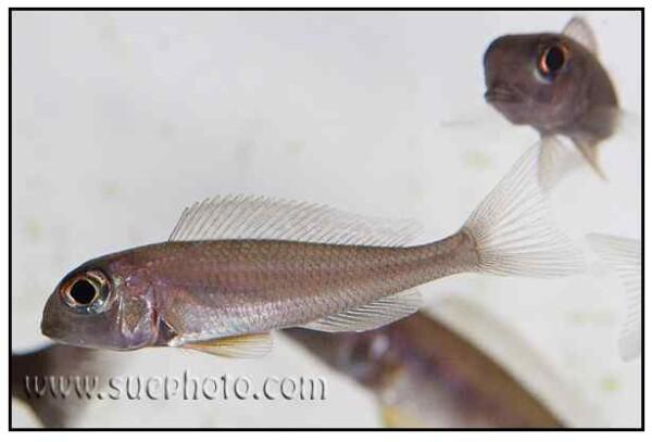 Xenotilapia boulengeri - Sambia