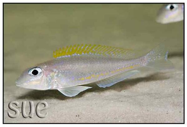 Xenotilapia flavipinnis- Mutondwe Island