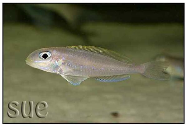 Xenotilapia flavipinnis - Nsumbu Bay
