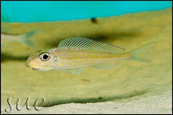 Xenotilapia leptura - Cameron Bay