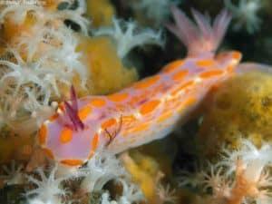 Ceratosoma amoenum
