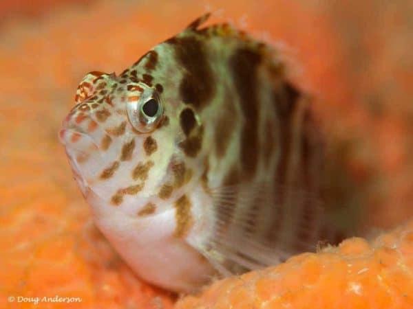 Cirrhitichthys aprinus - Gevlekte koraalklimmer