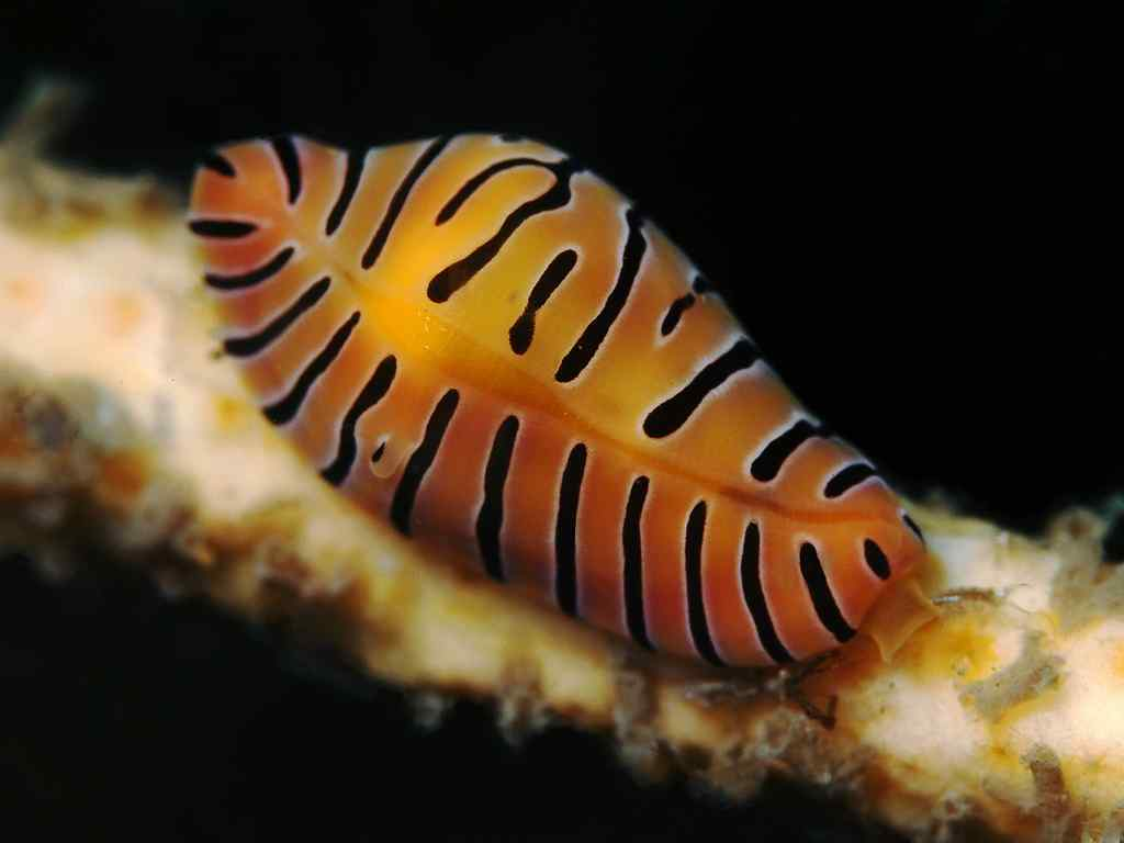 Crenavolva tigris - Tijger Porceleinslak