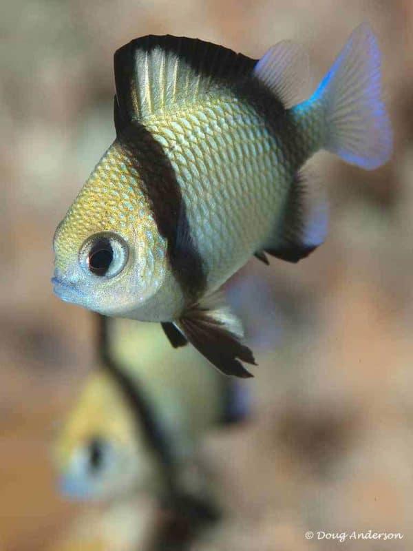 Dascyllus reticulatus