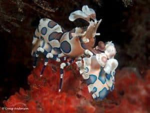 Hymenocera picta - Harlekijn garnaal