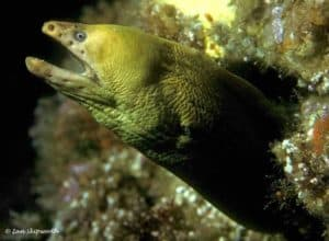 Gymnothorax prasinus - Groene Murene