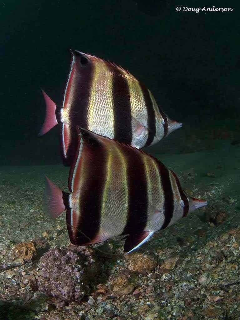 Chelmonops truncatus