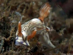 Hypselodoris zephyra - Tulamben - Bali