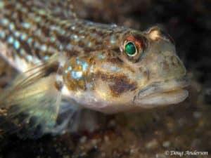 Bathygobius kreffti