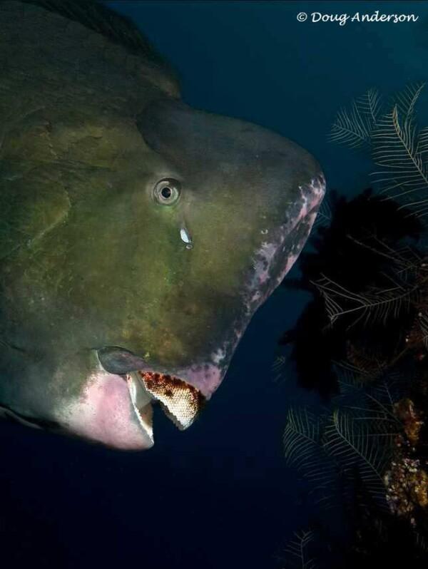 Bolbometopon muricatum - Bultkop Papegaaivis - Close up