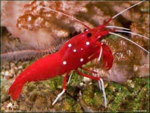 Hippolytidae