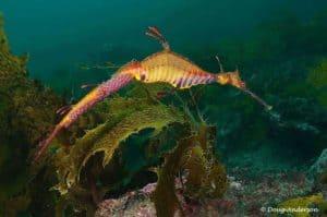 Phyllopteryx taeniolatus - Wierige Zeedraak - Man. Hij draagt op zijn staart de eieren.