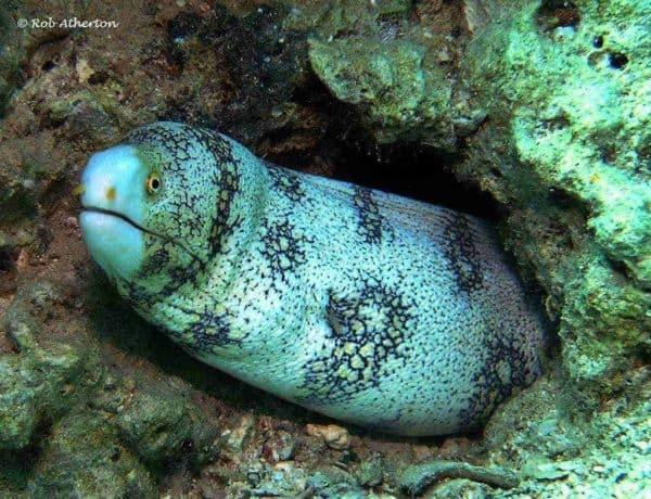 Echidna nebulosa - Ster Murene