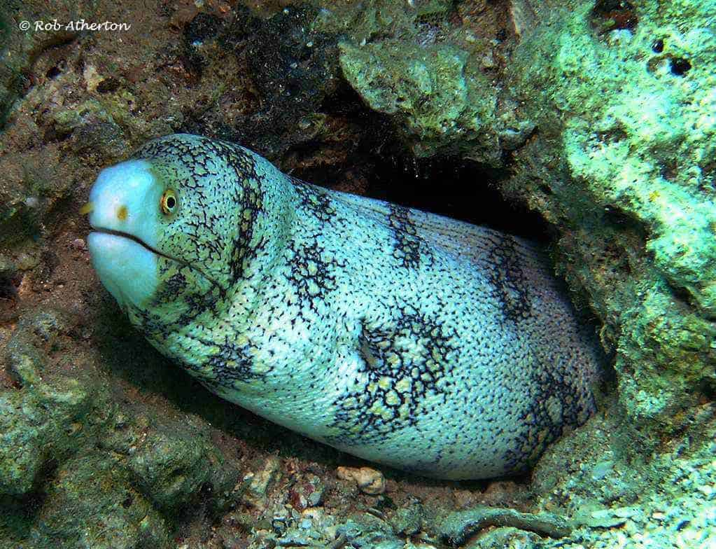 Echidna nebulosa – Ster Murene