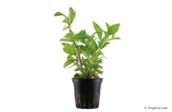 "Hygrophila polysperma ""Rosanervig"" in pot"
