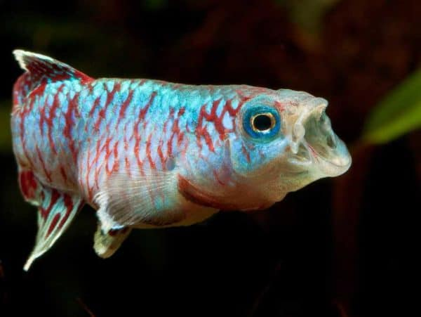 Nothobranchius eggersi
