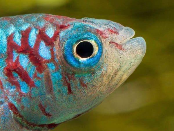 Nothobranchius eggersi close up