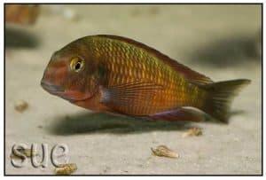 Tropheus sp Chimba