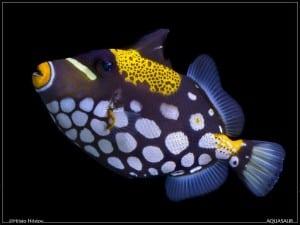 Trekkersvissen