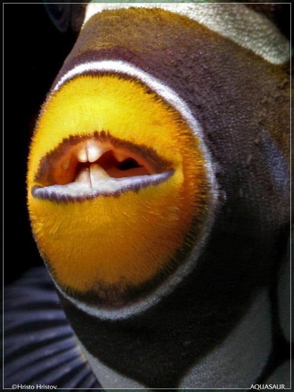 Balistoides conspicillum - Luipaard Trekkersvis - Tanden