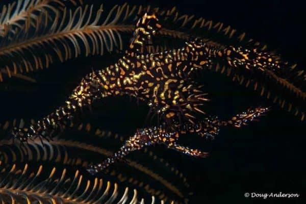 Solenostomus paradoxus - Harlekijn Spookfluitvis