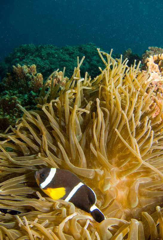 Amphiprion chrysogaster