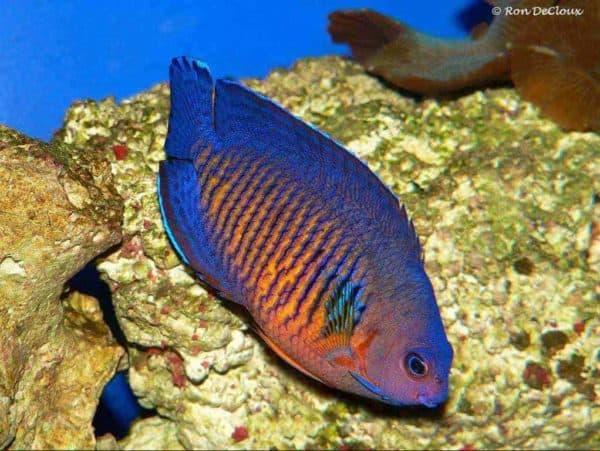 Centropyge bispinosa - Gestreepte Dwergkeizersvis
