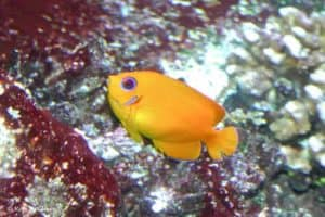 Centropyge flavissima - Citroengele Dwergkeizersvis