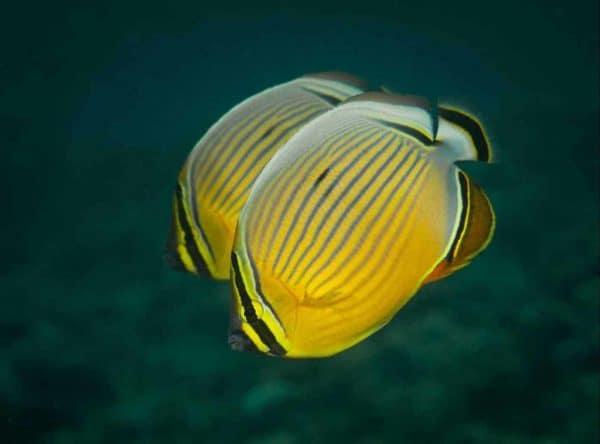 Chaetodon lunulatus - Drieband Koraalvlinder