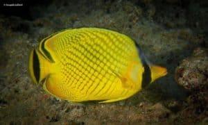 Chaetodon rafflesii