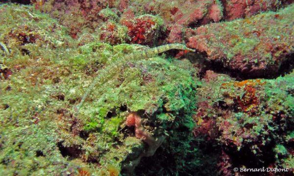 Corythoichthys haematopterus