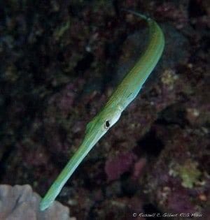 Fistulariidae