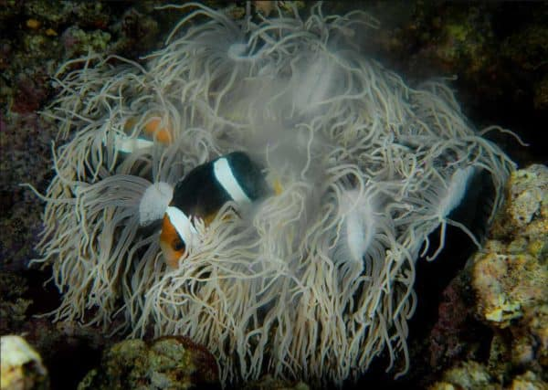 Heteractis crispa laat sperma los - De Amphiprion clarkii kijkt naar beneden naar zijn eieren