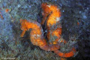 Hippocampus erectus - Gestreept Zeepaardje