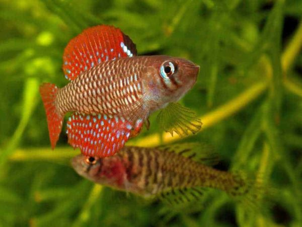 Spectrolebias reticulatus
